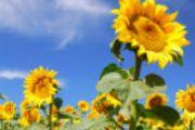 Hi-Oleic Sunflower Oil